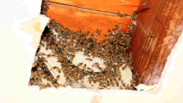 The bees were removed humanely and will be relocated to a bee farm. 17 Honeycombs that were made by the bees were removed and taken to the bee farm. <span class=meta>Roy Renna / BMR Breaking News</span>