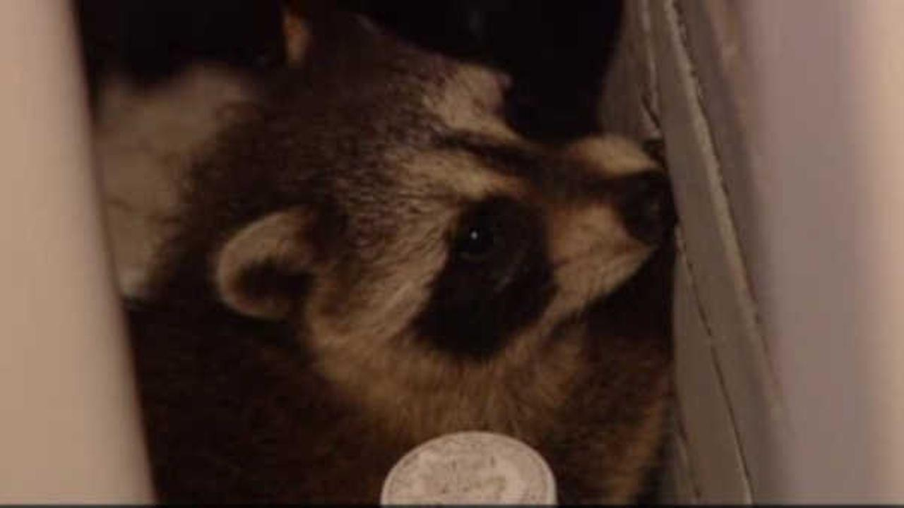 Rats and roaches beware: Raccoon control inquiries up across New York City