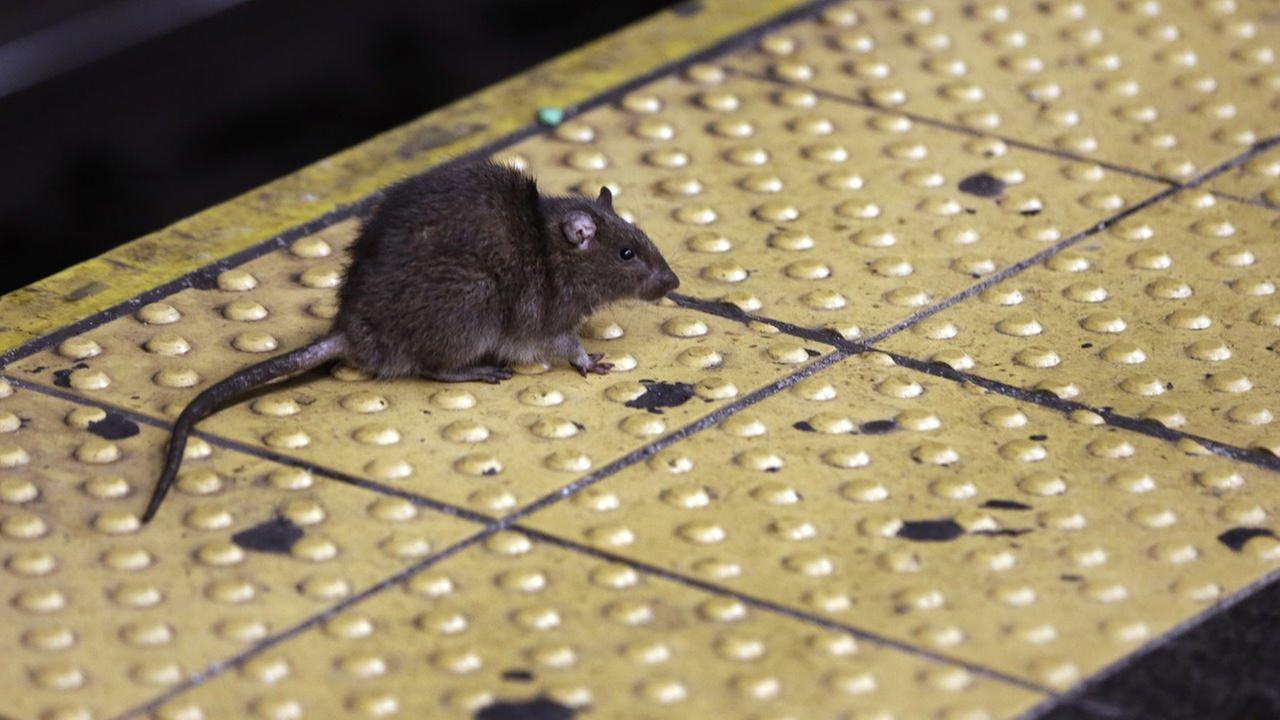 In this Jan. 27, 2015, file photo, a rat crosses a Times Square subway platform in New York.