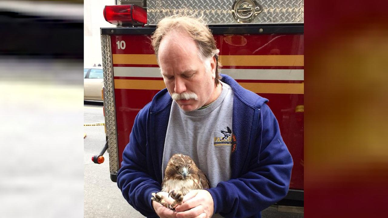 Firefighter rescues injured red-tailed hawk in Manhattan