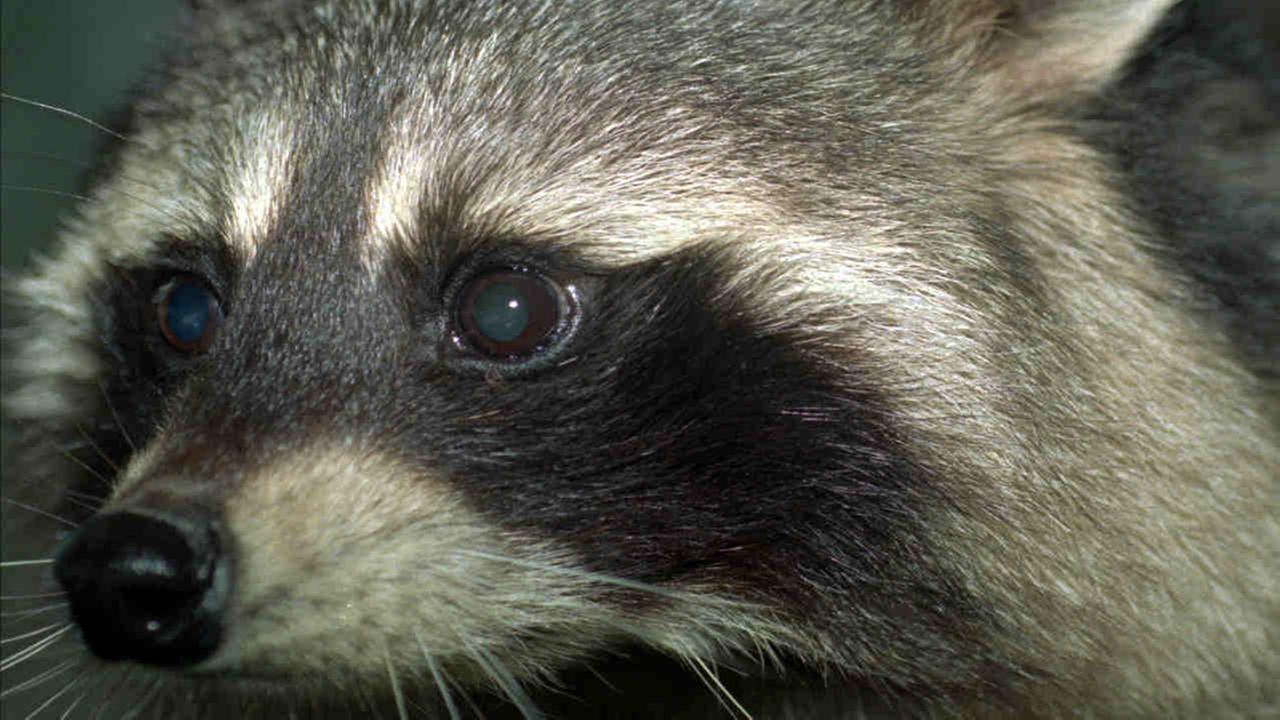 Park police officer shoots himself in foot fending off DC raccoon attack
