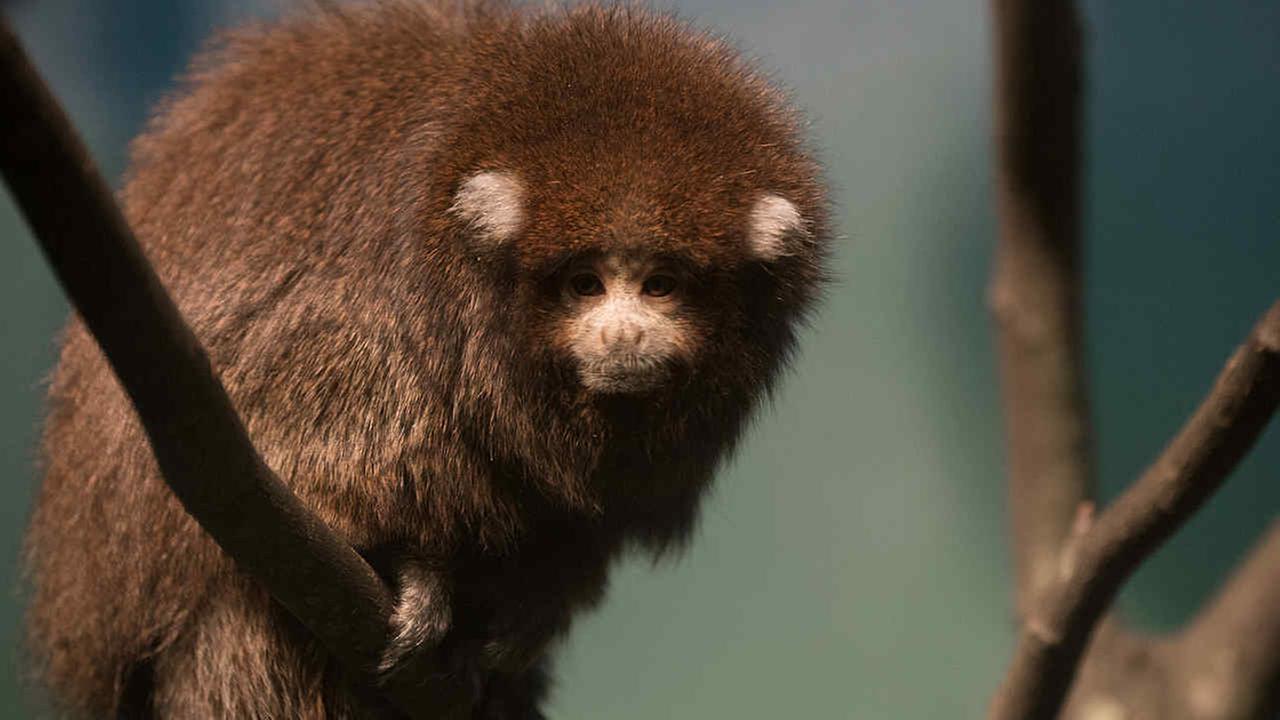 Prospect Park Zoo debuting Bolivian titi monkeys