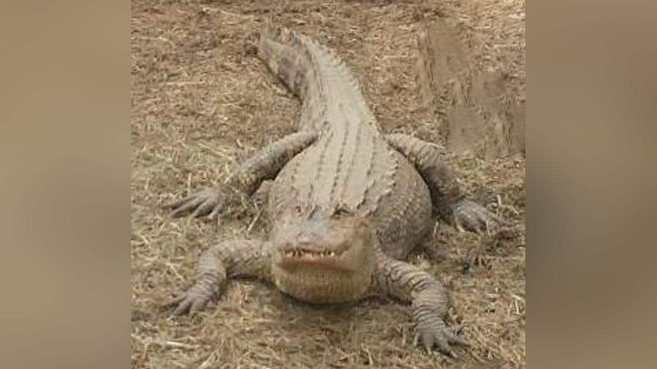 6-foot-long 'pet' alligator removed from Long Island home