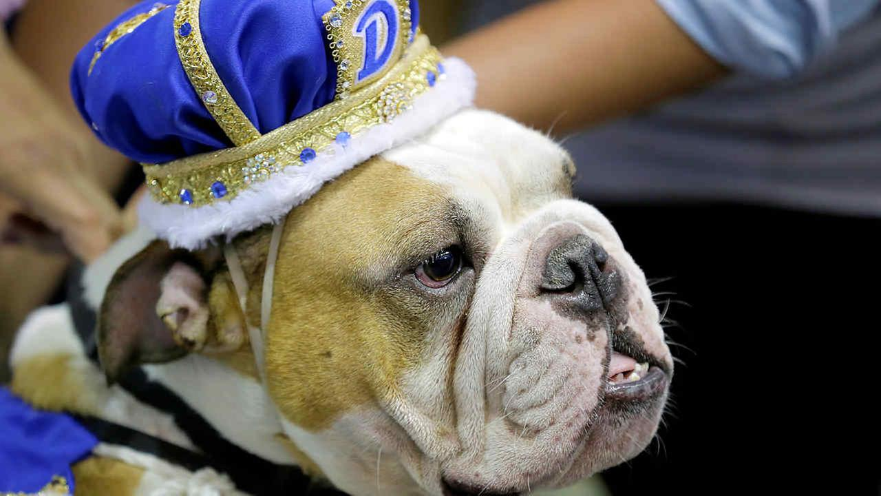 Vincent, owned by Meredith and Chad Green, of Des Moines, Iowa, sits on the throne after being crowned the winner of the 37th annual Drake Relays Beautiful Bulldog Contest.