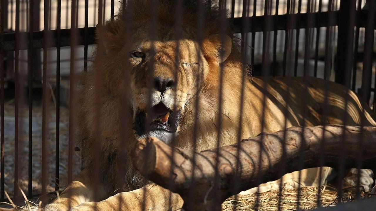 peru lions