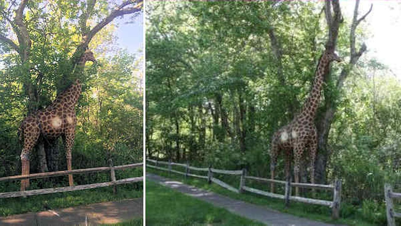 12-foot-tall wooden giraffe chained to tree in NYC
