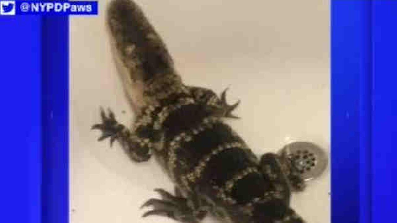 A 2- to 3-foot alligator was found in a bathtub by police responding to a burglary report on Staten Island Tuesday night.