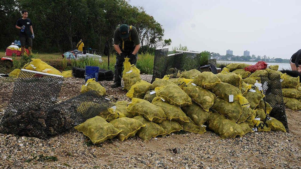 50,000 oysters installed to help clean Jamaica Bay