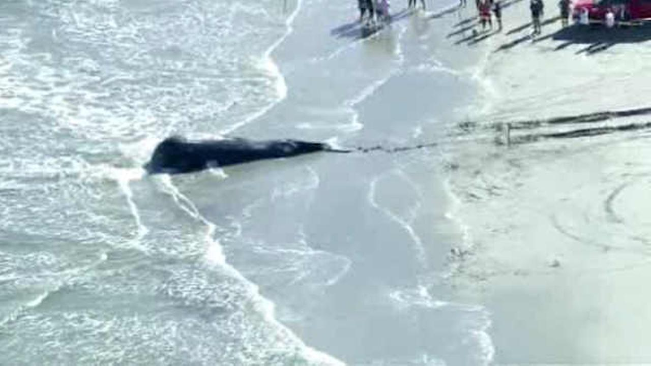 Dead humpback whale washes up on beach at Jersey Shore