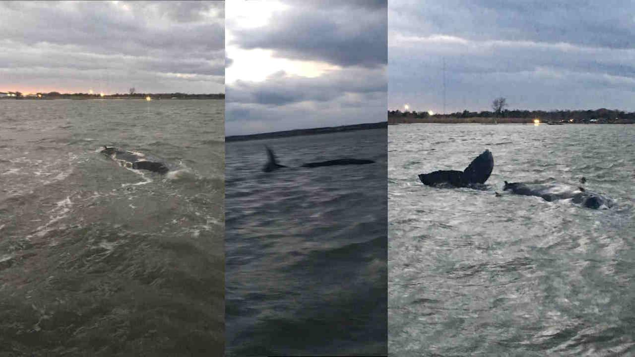 A young humpback whale was stuck in the Moriches Bay area off Long Island for about a week, despite experts efforts to move it to deeper waters.