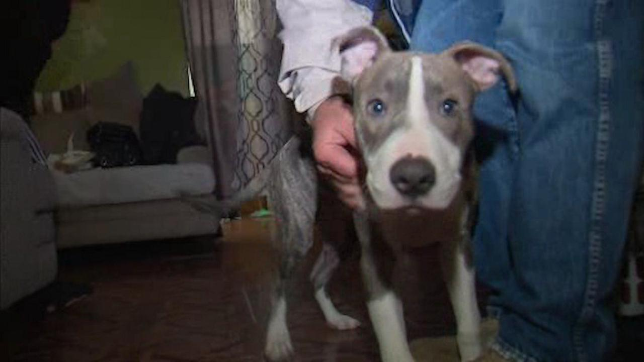 Pit bull credited with saving teen owner from rape