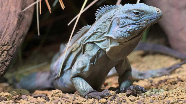 Blue Iguanas Back From Brink Of Extinction At Bronx Zoo