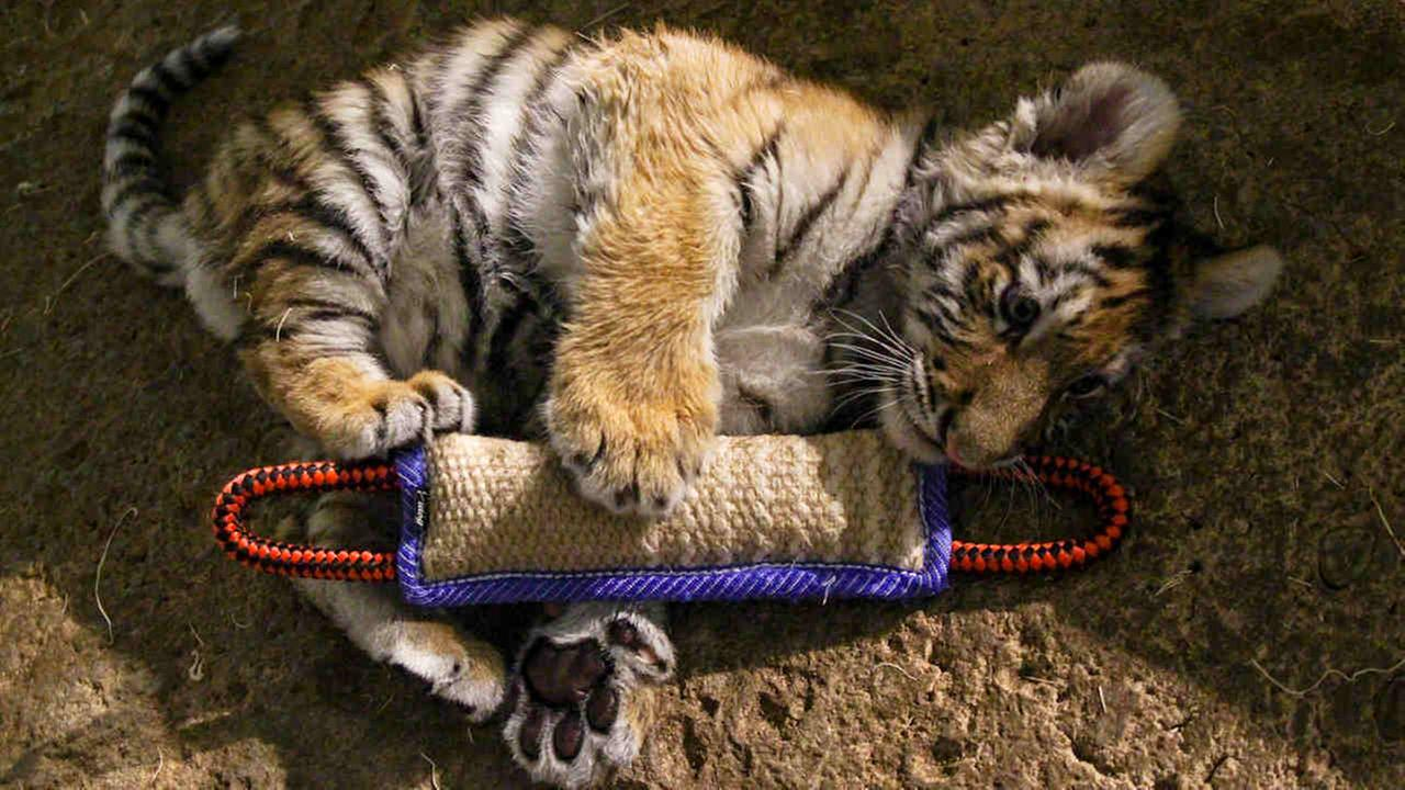 Milwaukee County Zoo raises Amur tiger cub by hand to save his life