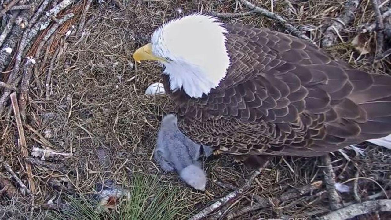 WATCH LIVE: Still waiting for 2nd Florida bald eagle to hatch