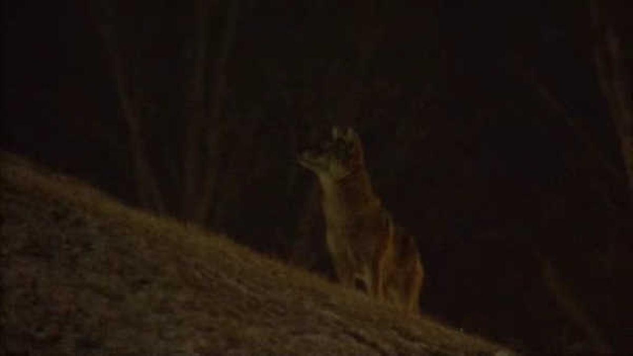 Animal rights activists protecting coyotes near LaGuardia Airport