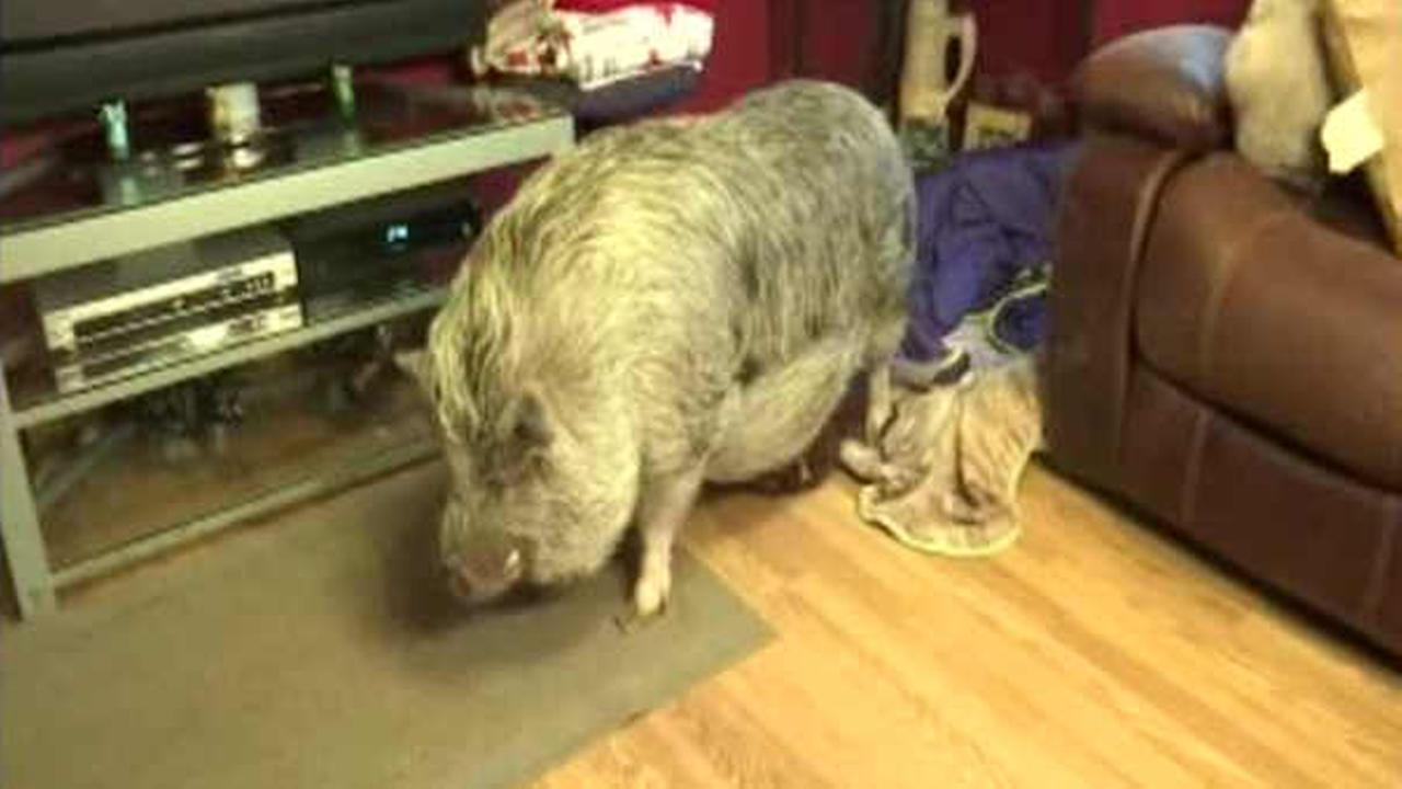 Woman on Staten Island fighting to keep her pet pig