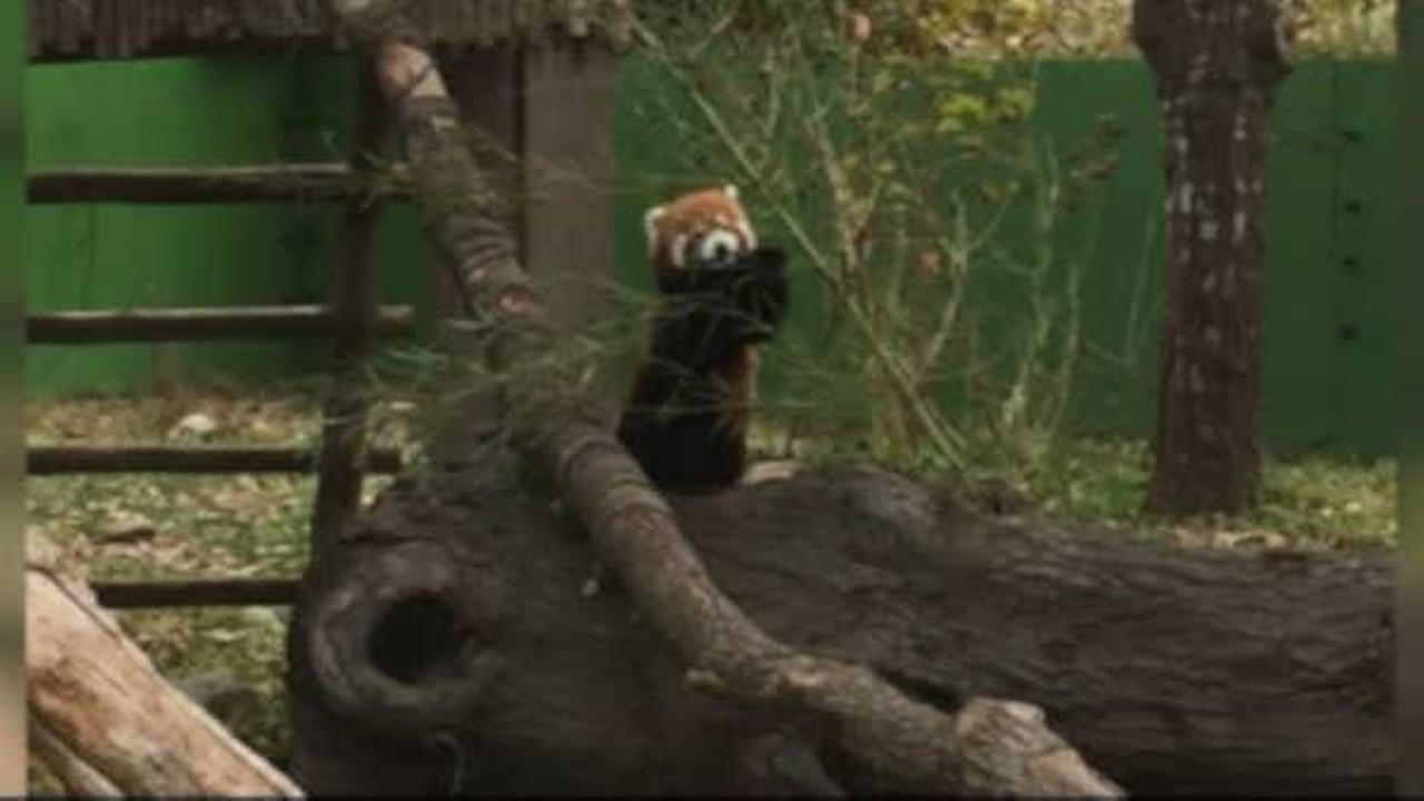 Sunny the red panda escapes enclosure at Virginia Zoo