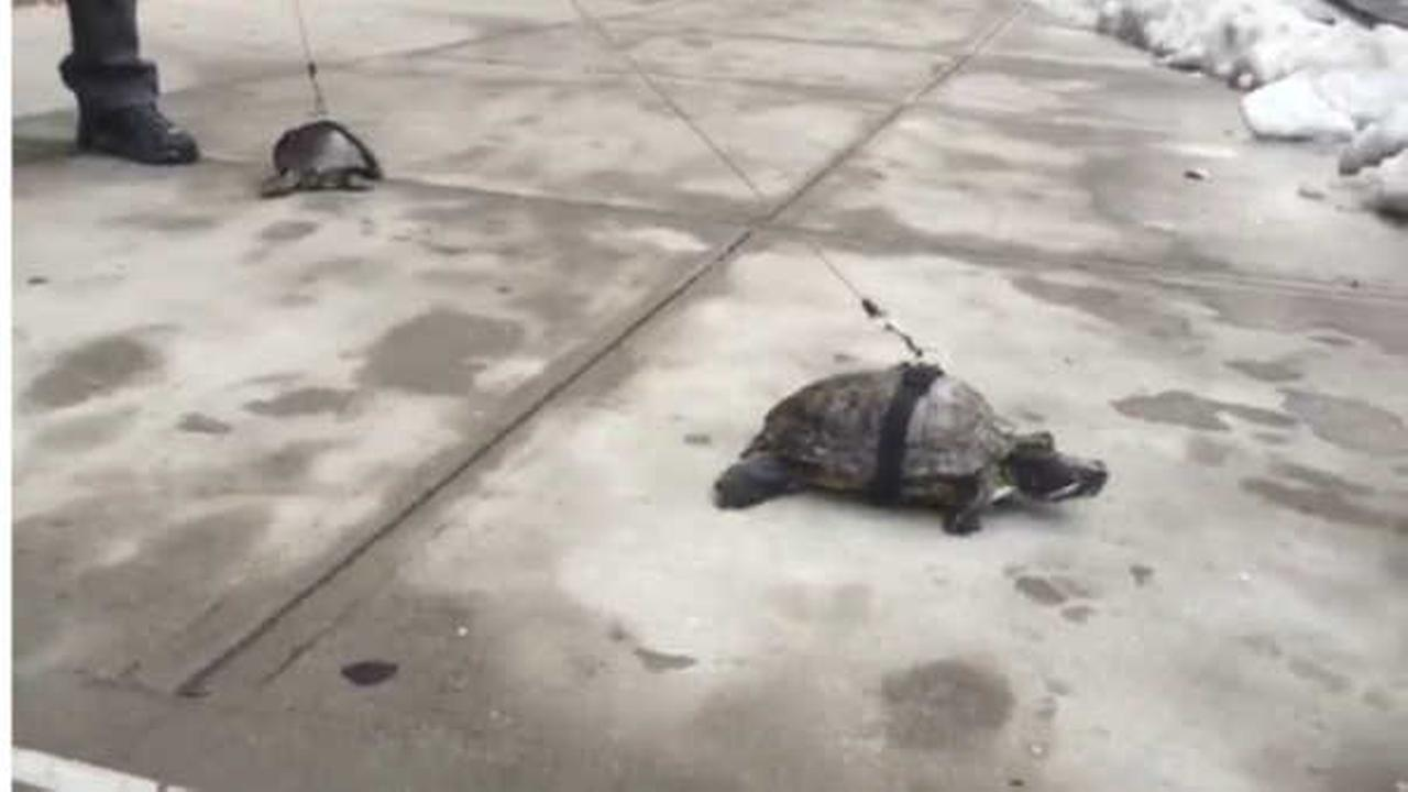 East Harlem man walks his turtles
