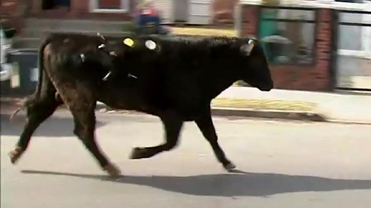 Bull dies after briefly breaking free from NY slaughterhouse