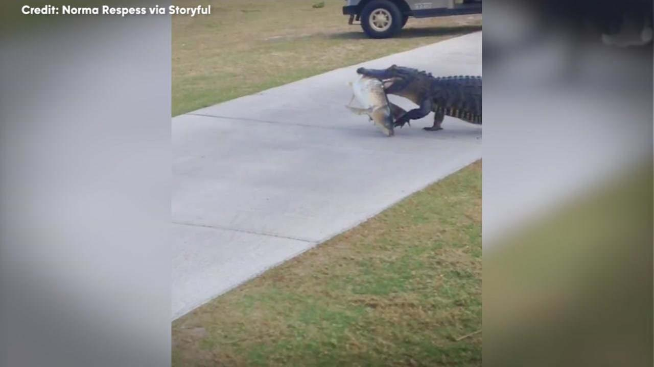 ONLY IN FLORIDA: Alligator strolls across golf course carrying big fish in mouth