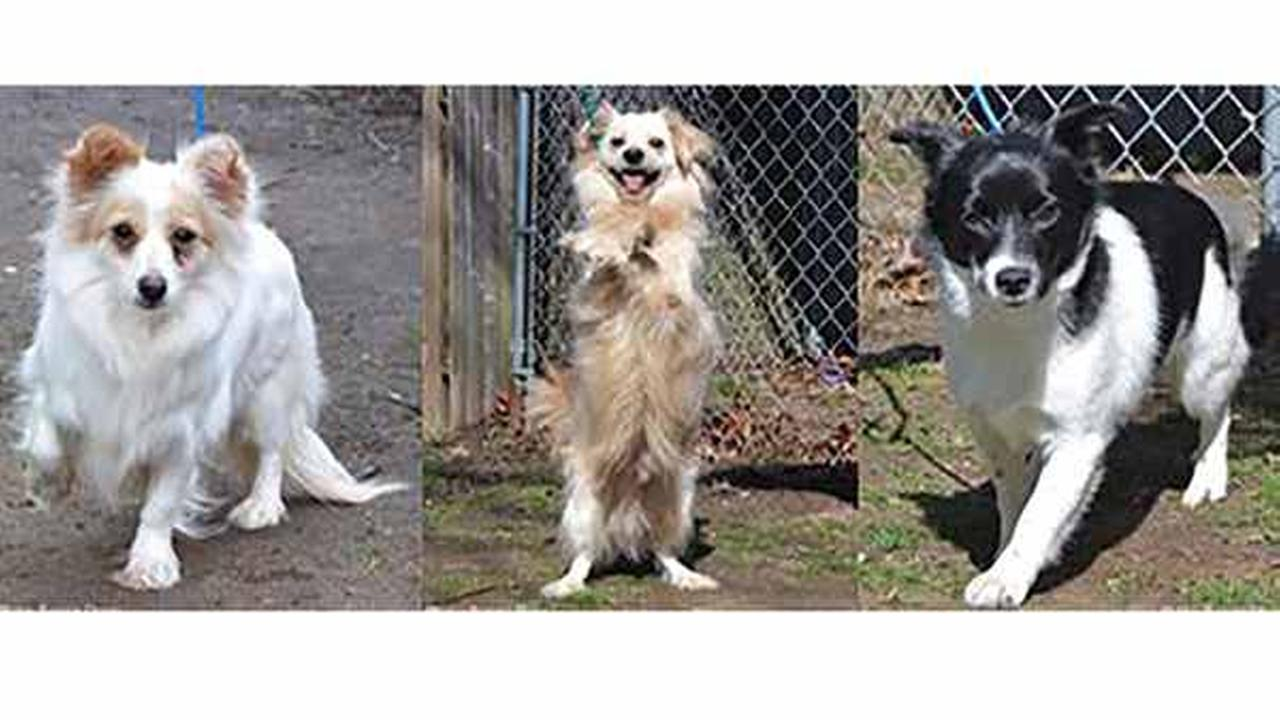 Some of the dogs up for adoption on Long Island after they were saved from a Korean slaughterhouse.