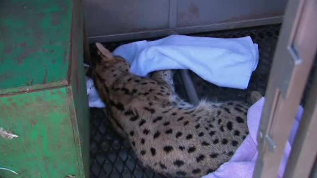 Large exotic cat captured in New Jersey