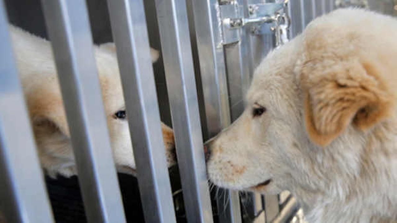 Two dogs rescued from a South Korean dog meat farm nuzzle each other aboard an animal transport vehicle near Kennedy Airport  (Andrew Kelly/Humane Society International via AP)