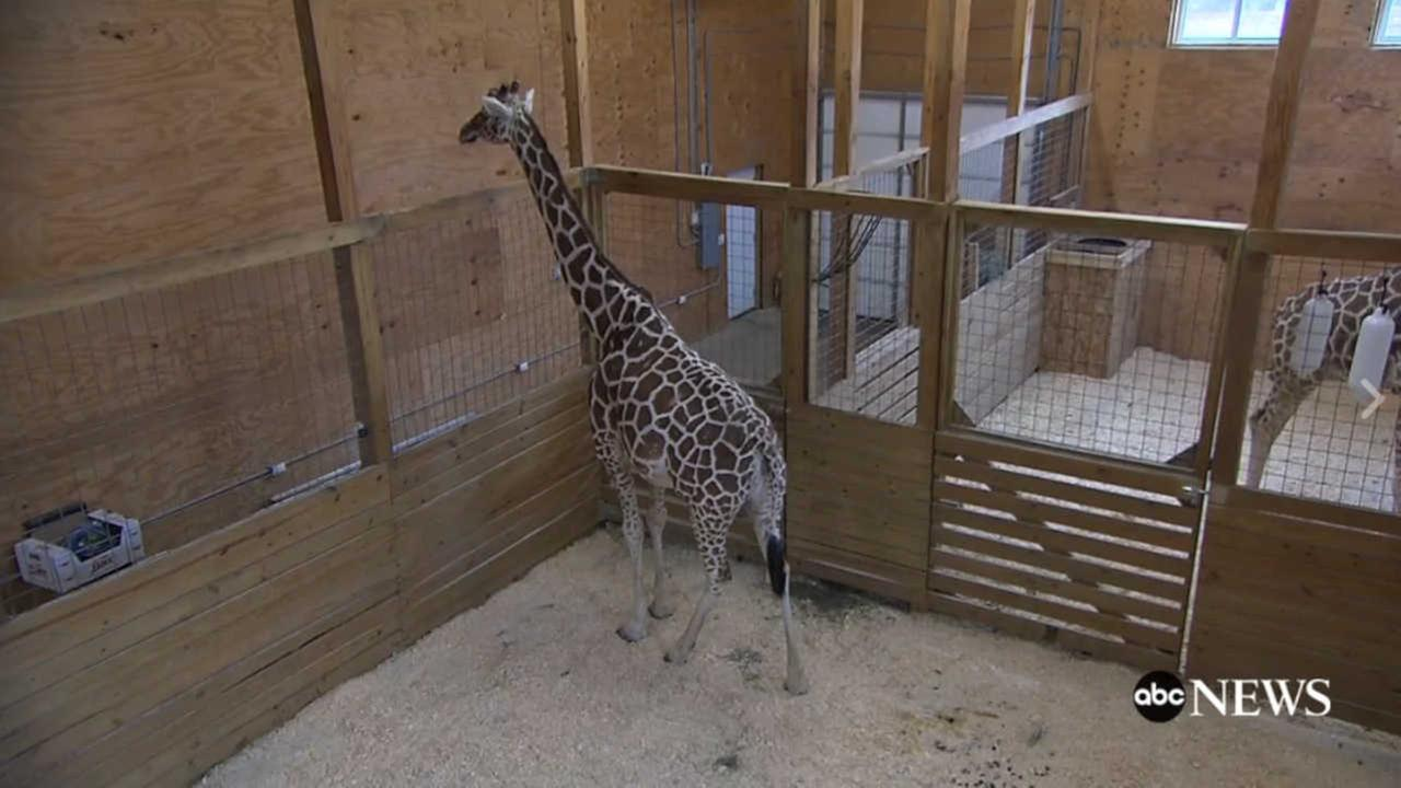 LIVE GIRAFFE CAM: April the Giraffe is giving birth