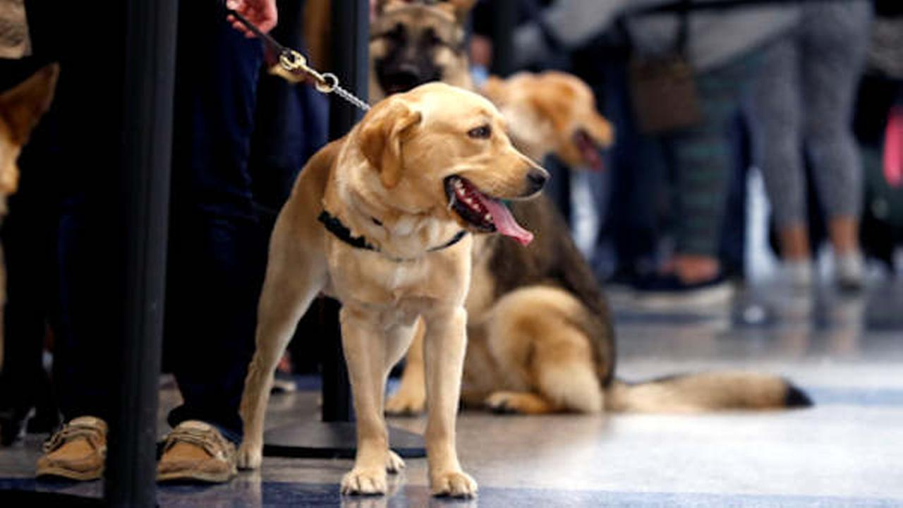 Service dogs stand with their trainers as they wait to go through security screening at Terminal C at Newark Liberty International Airport.  (AP Photo/Julio Cortez)