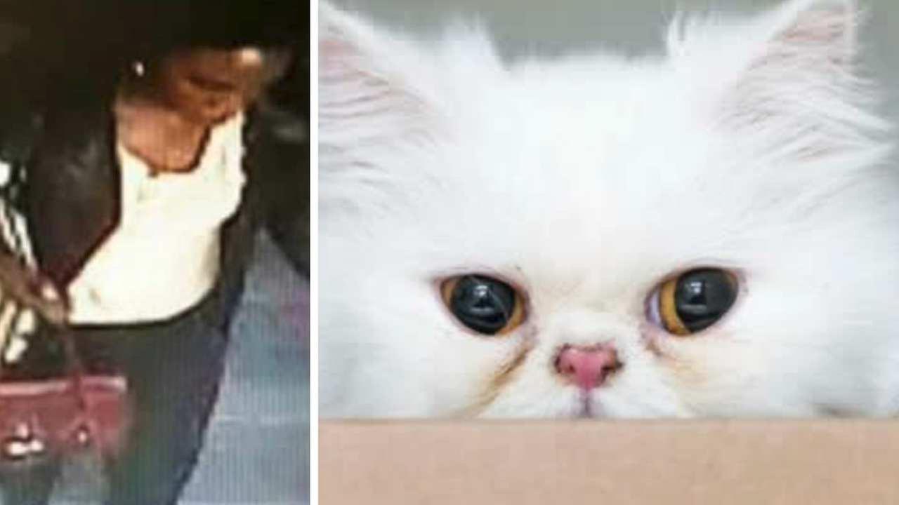 Persian cat stolen from animal shelter in Harlem
