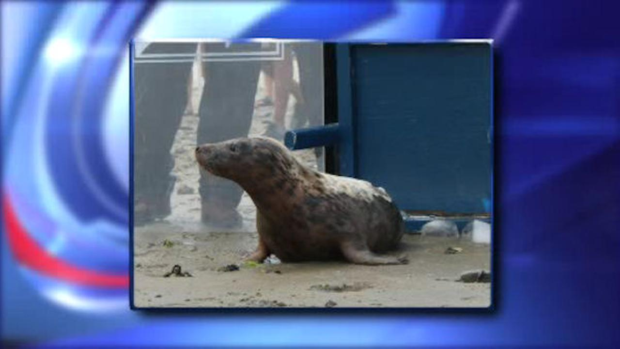 Seal rescued in Queens released into water in Hampton Bays