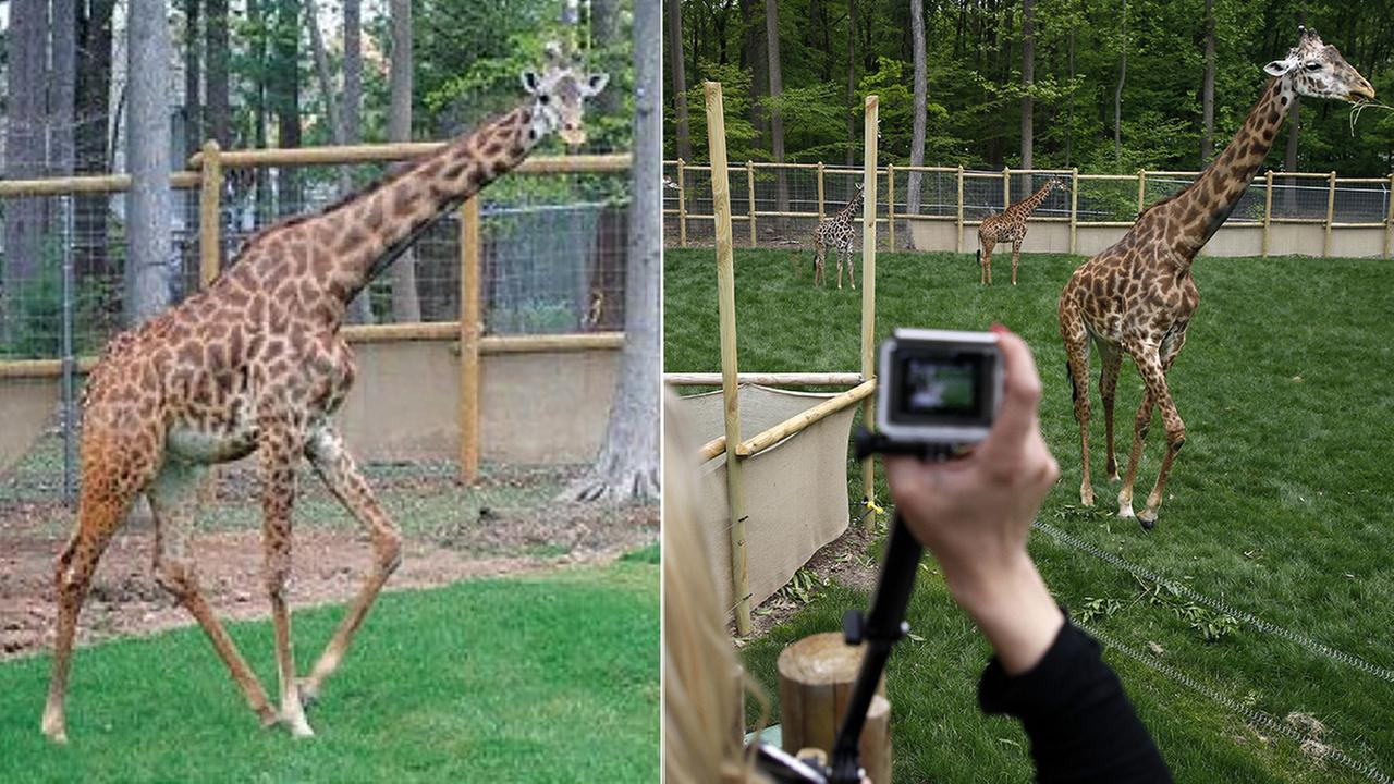 Left: Hodari; Right: People watch giraffes at the opening of the new African Adventure Exhibit Tuesday, May 17, 2016.