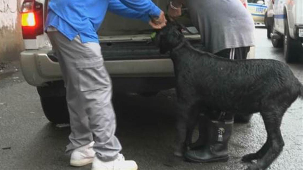 NYPD officers wrangle goat on the lam in Queens