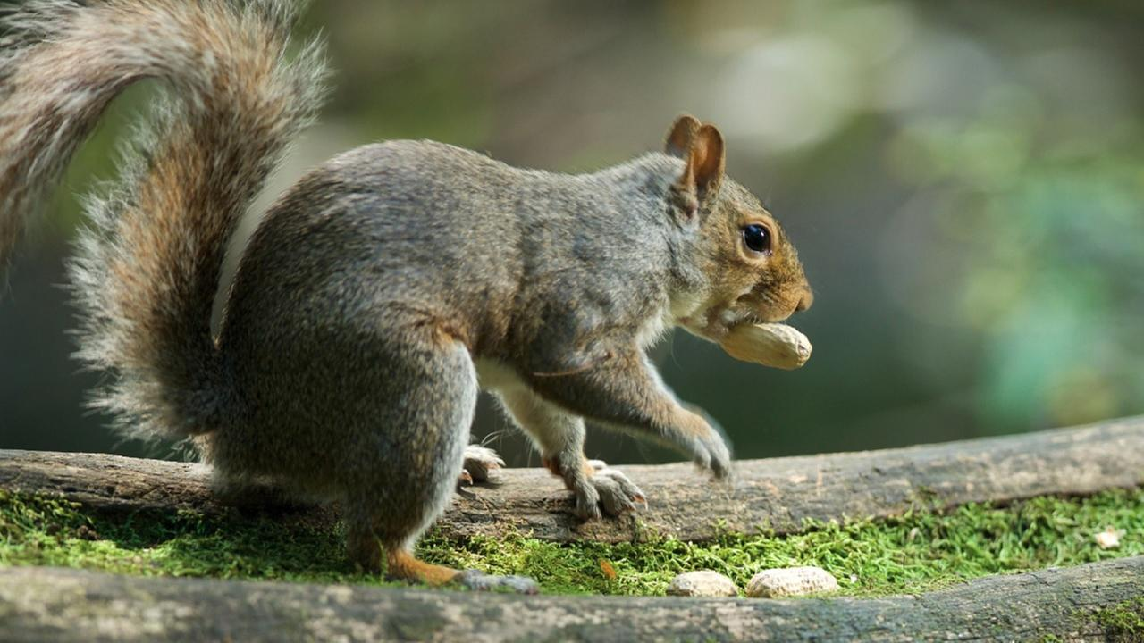 Hostile squirrel brings reign of fear to NY park