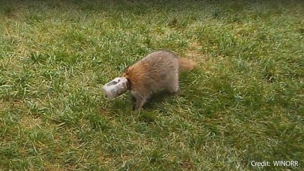 Raccoon gets head stuck in peanut butter jar on Long Island