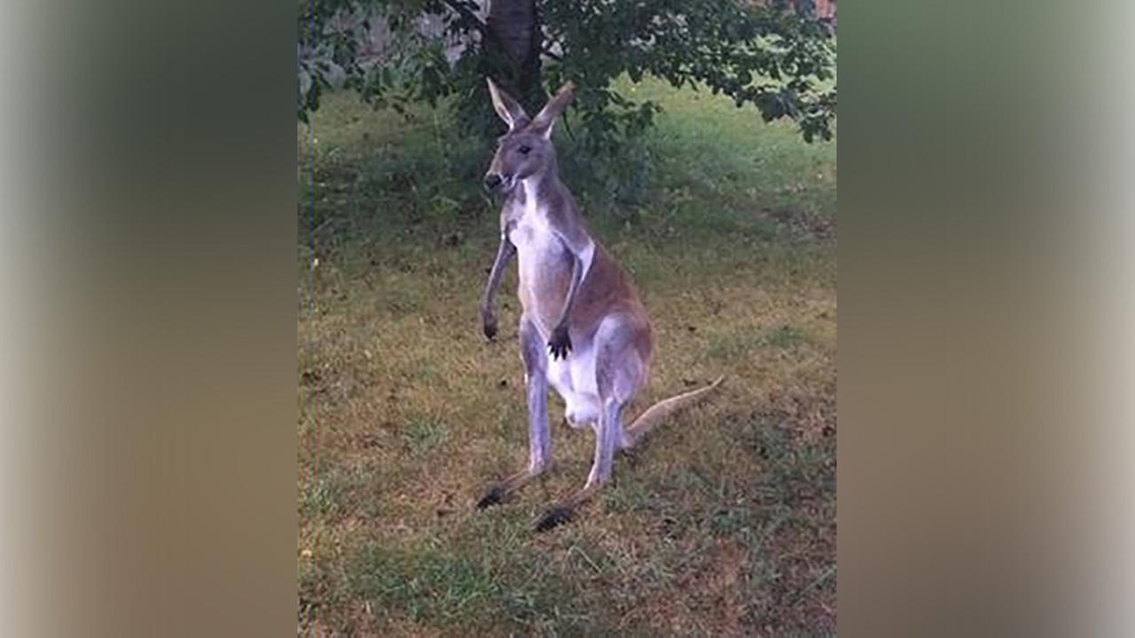 The 5-year-old kangaroo escaped from Jerry Smiths Farm in Somers, Wis. Thursday morning, the Kenosha County Sheriffs Department said.