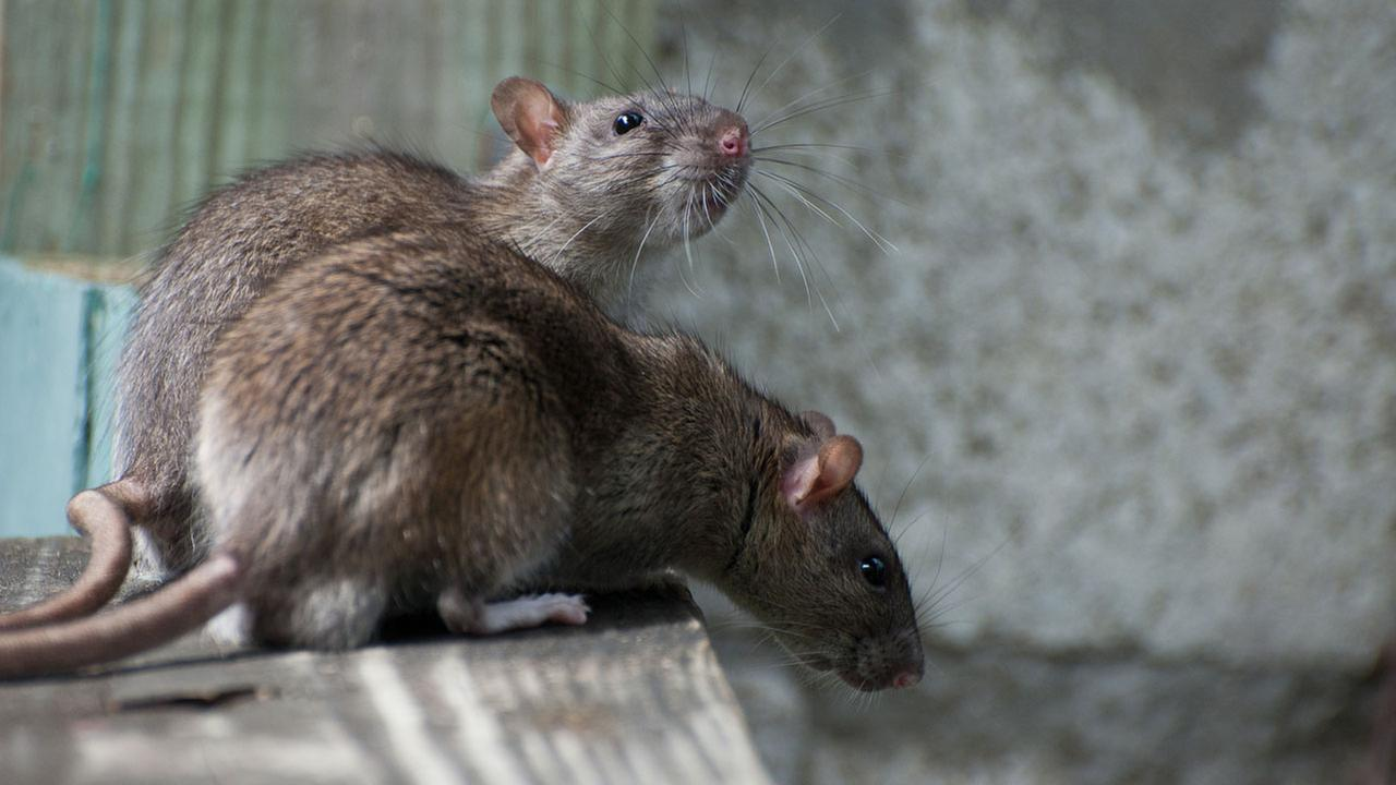 New York does not top 'Rattiest Cities' list