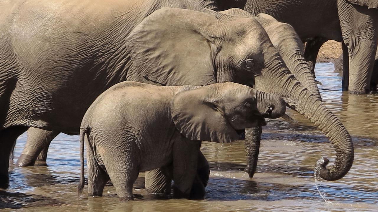 President Trump reverses Obama-era ban on importing elephants killed as trophies