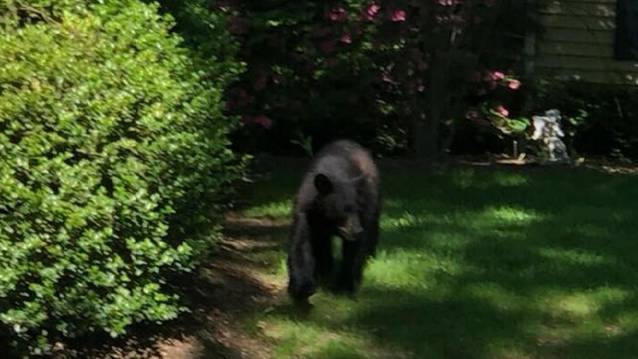 Bear captured after running loose through New
