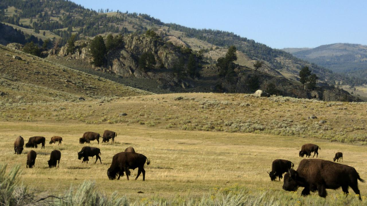 In this file photo, a herd of bison grazes in the Lamar Valley of Yellowstone National Park in Wyoming.