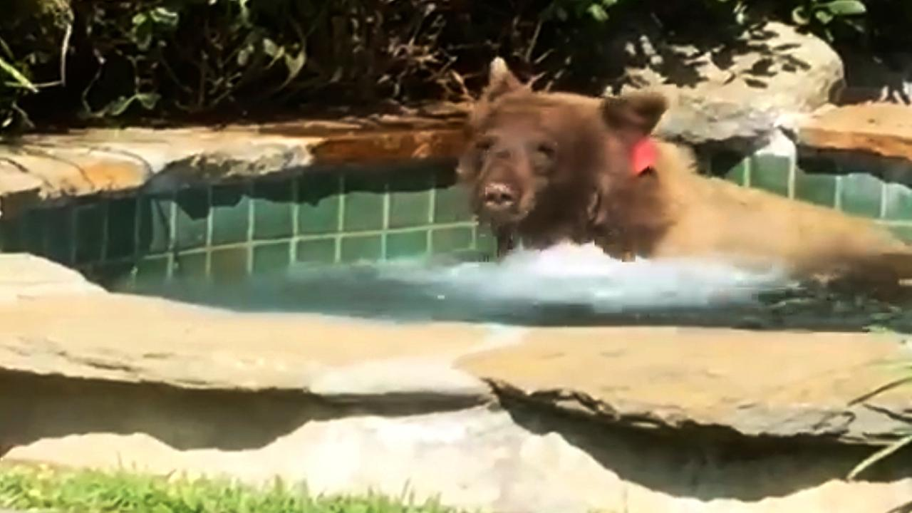Shocked home owner films bear relaxing in hot tub, drinking margarita