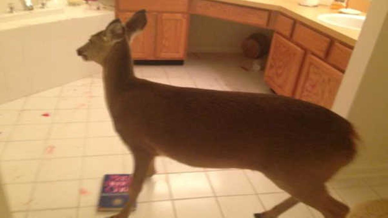 Deer ruins dinner, crashes through front door of New Jersey home