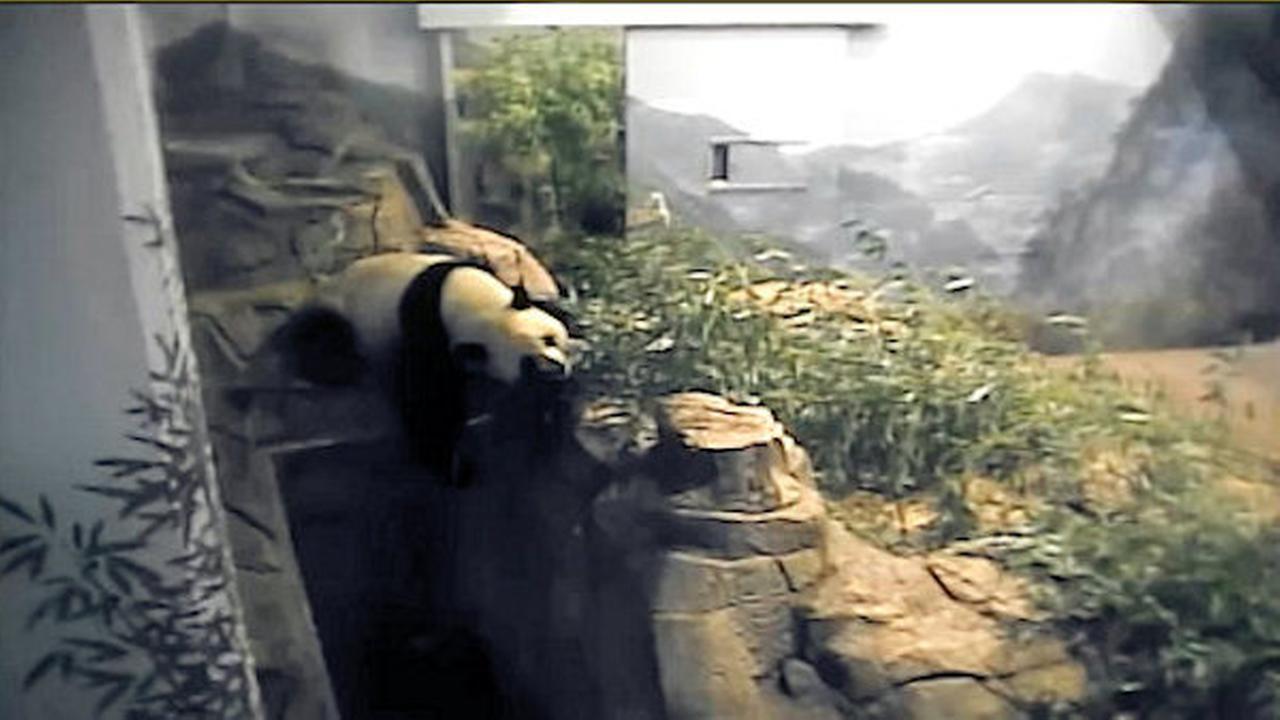 baby panda bao bao