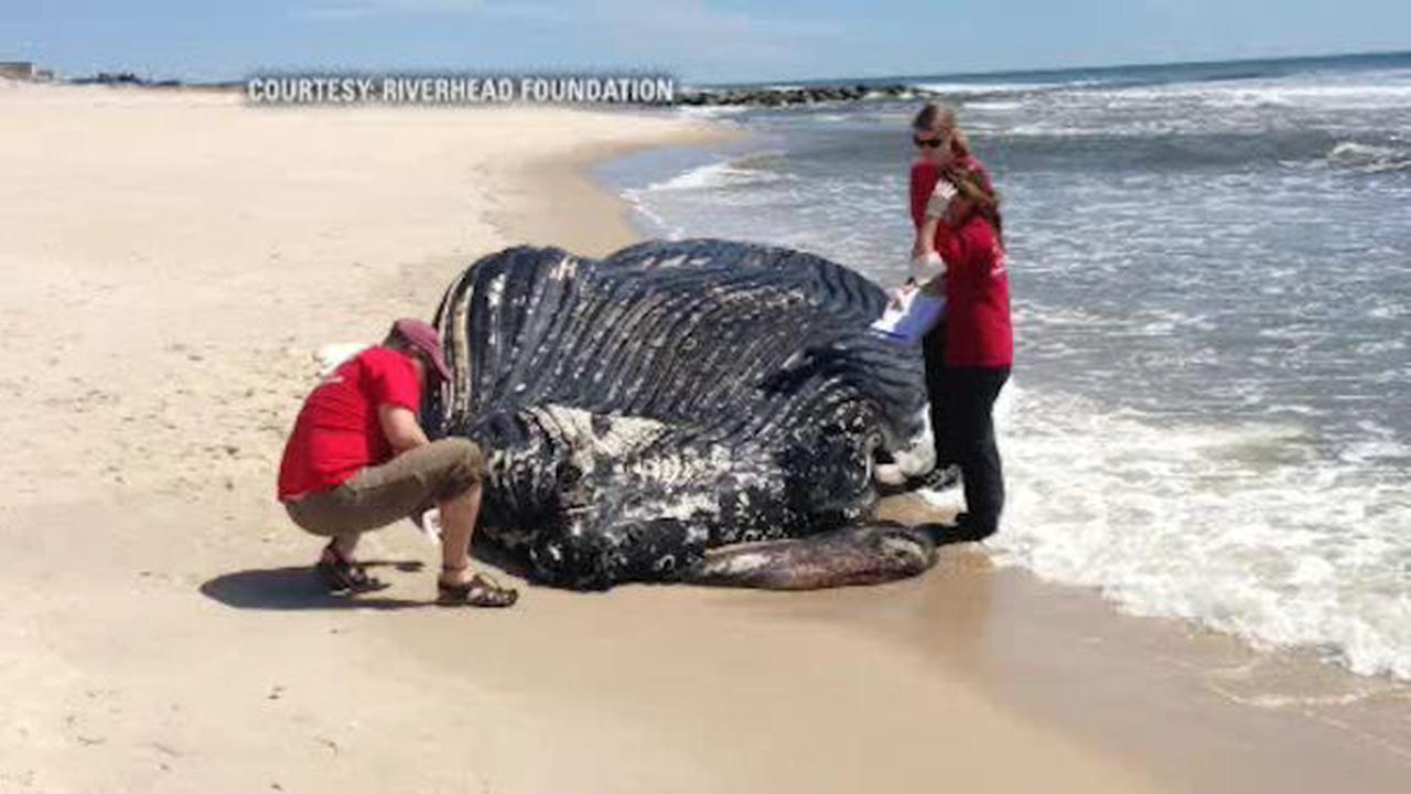 Dead Humpback whale washes up on Westhampton BeachDead Humpback Whale