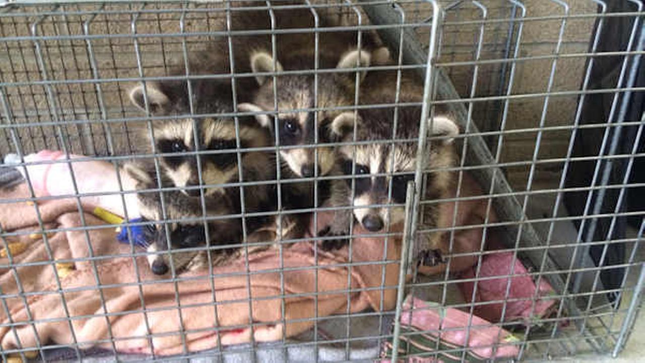 5 baby raccoons