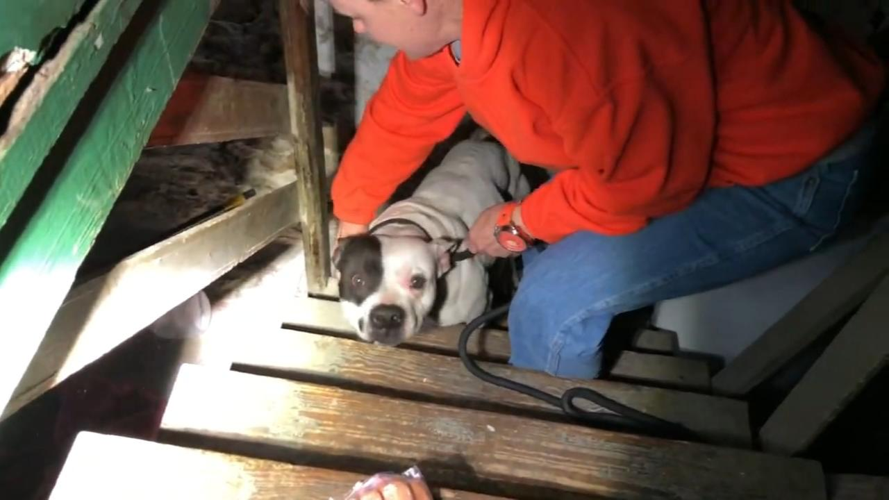 Man moving into new home in St. Louis finds pit bull chained up in basement
