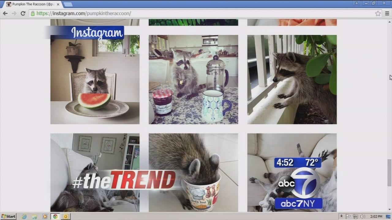 The Trend: Pumpkin the raccoon gets a new home