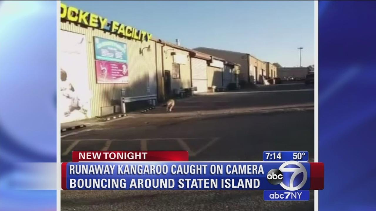 Runaway kangaroo caught bouncing around Staten Island