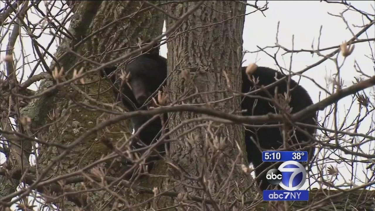 Bear stuck in tree in New Jersey neighborhood