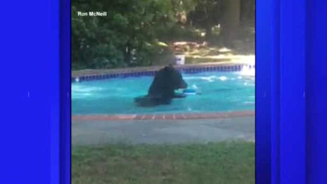 Backyard Swimming Pool Bear Goes For A Dip In New Jersey Familys Backyard Swimming Pool
